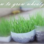 How to Grow Wheatgrass for Juicing at Home in Soil/ Without Soil