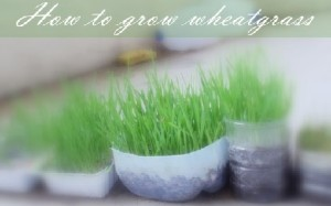 Growing Wheatgrass