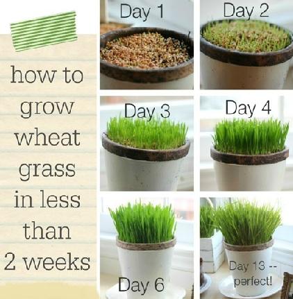 How Tall will Wheatgrass Grow
