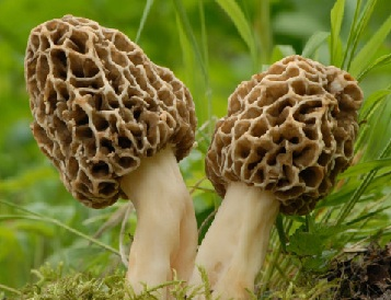 Benefits of Eating Morel Mushrooms