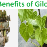 Benefits of Giloy: Guduchi Uses as Ayurveda