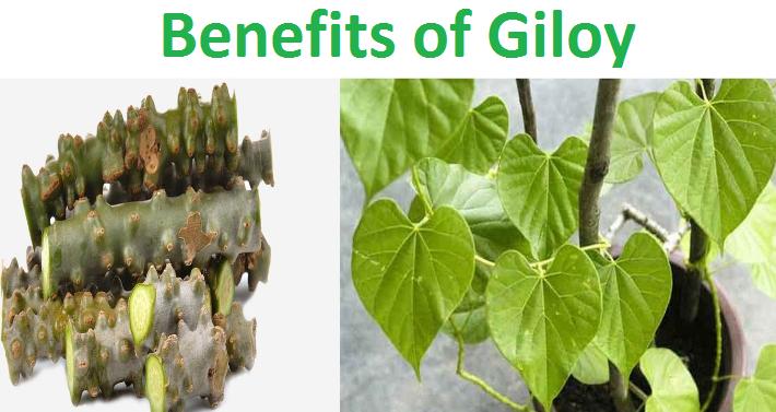 Guduchi benefits and Uses
