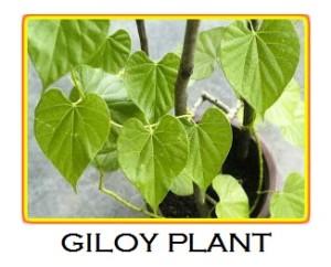 Giloy Plant Photo