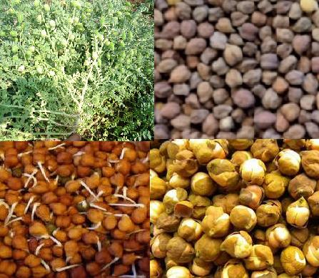 Advantage of eating Grams - Sprouted, Boiled or Roasted Chana Benefits